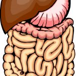 graphic of intestines and stomach