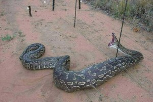 Electric Fence Dead Snake