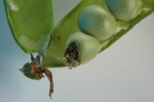 Rotten Pea in pod