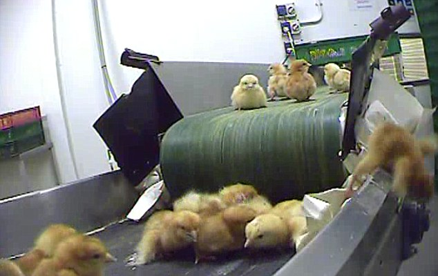 chicks on conveyor