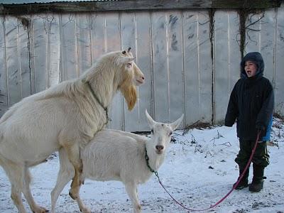goat mounting