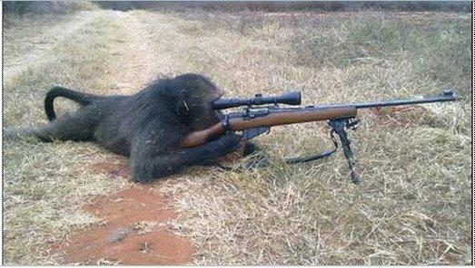 baboon aiming rifle