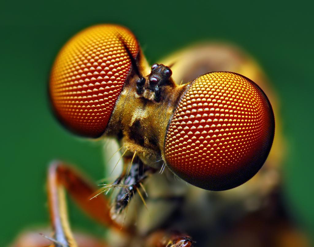 Eyes_of_a_Holcocephala_fusca_Robber_Fly