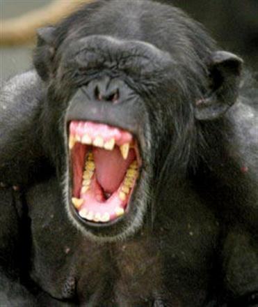 yelping chimp