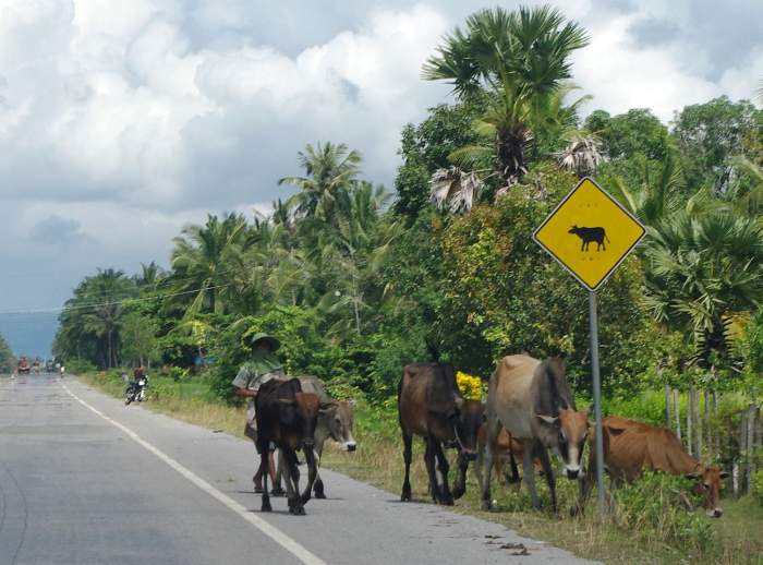 cows on road by watch for cows on road sign