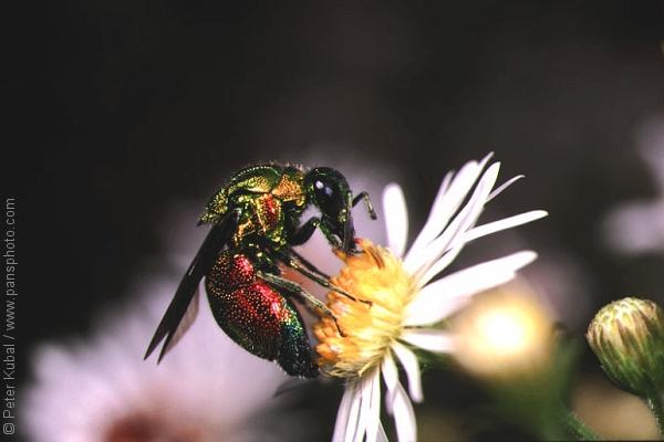 beautiful wasp