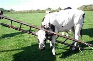 cow with head and leg stuck in ladder