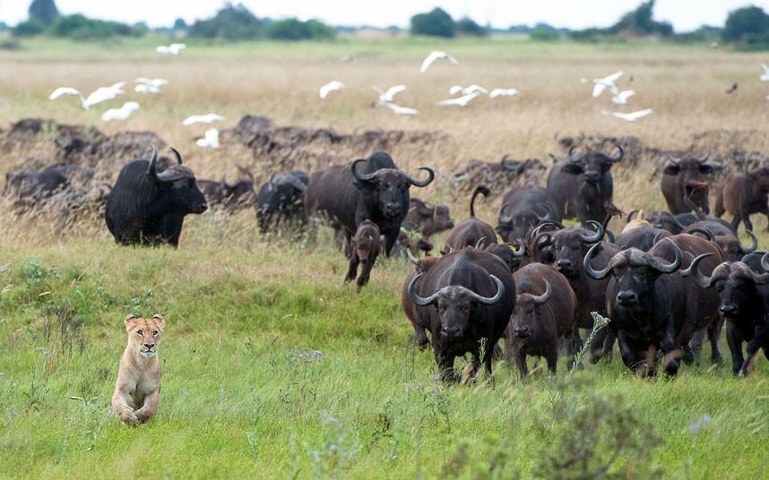 water buffalo menacing lion